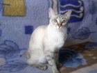 Уникальное фотографию  Кошка меконгский бобтейл ищет кота, 37738858 в Аксае