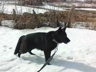 Свежее изображение Вязка собак Вязка кобеля немецкой овчарки 38823455 в Алейске