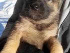 Фото в  Отдам даром - приму в дар отдам в хорошие руки щенков. щенкам 3 месяца, в Александрове 0