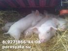 Новое изображение Другие животные Поросятана откорм 34044272 в Алексине