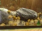 Просмотреть фото Другие животные продам по низкой цене улиток ампулярий 69789881 в Ангарске
