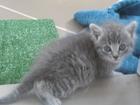 Фото в Кошки и котята Продажа кошек и котят Отдам котят (котики) 1 месяц в добрые руки, в Барнауле 0
