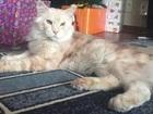 Фотография в Кошки и котята Продажа кошек и котят Очень ласковый и нежный котик ищет себе подружку в Барнауле 0