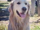 Фотография в Собаки и щенки Вязка собак Ищем суку для вязки. Можно без документов. в Барнауле 0