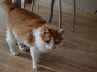 Скачать изображение Потерянные Пропал кот рыже-белого окраса в садоводстве с, Токарево 39022091 в Барнауле