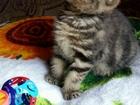 Смотреть фото Вязка кошек Молодой красавец ищет невесту 54522206 в Барнауле