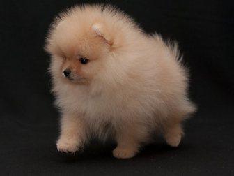 Новое фотографию Собаки и щенки Померанский миниатюрный шпиц 32629767 в Бийске