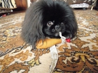 Скачать foto Вязка собак Вязка пекинеса, Пекинес по кличке Чарли, Два с половиной года, 66464933 в Белгороде