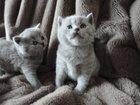 Изображение в Кошки и котята Продажа кошек и котят КПпПРООЛЛДЛДротGята британские породистые. в Белово 0