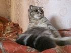 Foto в Кошки и котята Вязка кот 2 года развязан есть потомство к тарочке в Белово 1000