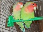 Фотография в Домашние животные Птички Отдам даром в хорошие руки пару неразлучников, в Березниках 200