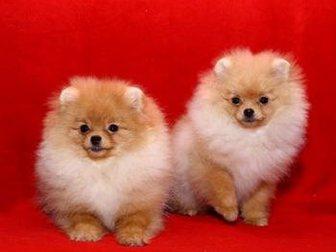 Скачать бесплатно фотографию Собаки и щенки Померанский миниатюрный шпиц 32608582 в Бийске