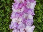 Уникальное изображение Растения Продаю луковицы гладиолусов, 32649704 в Благовещенске