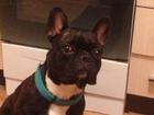 Фотография в   Потерялась собака , 05 . 09 . 2016    Французский в Благовещенске 0