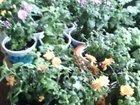 Смотреть фотографию Растения хризантема мульти-флора 38928717 в Благовещенске