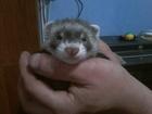 Свежее foto Другие животные Продаются щенки хорька 35212260 в Брянске