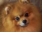 Изображение в Собаки и щенки Вязка собак Для племенного использования предлагается в Брянске 0