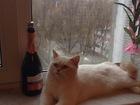 Foto в   Молодой кот , 1, 5 года породы Британская в Брянске 0