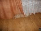 Увидеть foto Вязка кремовый скоттиш фолд , плюшевый - от черепаховой мамы, 1, 2 года , повязать , нужна девочка - скотиш страйт_ 38446734 в Брянске