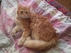 Скачать бесплатно изображение Вязка кошек Рыжая турецкая ангора ищет мальчика 69165763 в Брянске