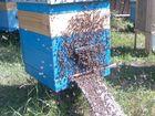 Новое foto  пчелы карпатской породы (добрые), 69346970 в Севске