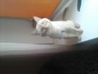 Уникальное фотографию Вязка кошек Спокойный ,красивый,игривый,я разный: Таец! красавец ! 62280907 в Челябинске