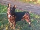 Увидеть фотографию Вязка собак Мальчик восточно-европейская овчарка (ВЕО) ищем девочку! 68221246 в Челябинске
