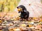 Скачать бесплатно фотографию Вязка собак Ищем девочку таксу для вязки 68570801 в Челябинске
