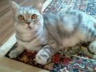 Свежее изображение  породистая шотландская кошка 69054177 в Челябинске