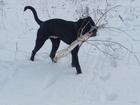 Просмотреть фотографию Вязка собак Требуется помощь в развязке кобеля 69060821 в Челябинске