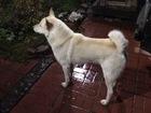 Новое фото Вязка собак Ищем самку на случку чистокровному кобелю породы Западно-Сибирская лайка 71345371 в Челябинске