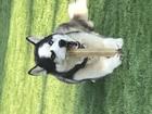 Уникальное фотографию Вязка собак Ищем девочку хаски для вязки 72059546 в Челябинске