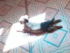 Уникальное фотографию Отдам даром - приму в дар Отдам даром щенка таксы девочку! 66199551 в Чите