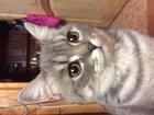 Уникальное изображение Вязка Срочно нужен британский кот для вязки 33841956 в Дмитрове