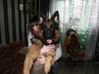 Скачать фото Вязка собак Ищем девочку немецкой овчарки для вязки 38908521 в Дмитрове