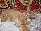 Мейн Куна котята большой выбор
