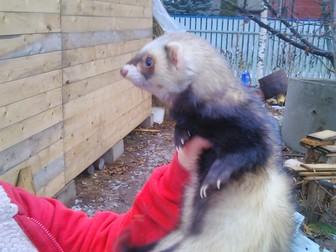 Увидеть изображение Другие животные Прекрасный друг хорёк 34046830 в Дмитрове