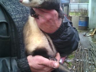 Уникальное фотографию Другие животные Прекрасный друг хорёк 34046830 в Дмитрове
