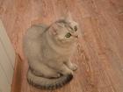 Просмотреть фотографию Вязка кошек Кошечка ищет жениха на вязку 68262513 в Домодедово