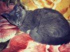 Фото в Кошки и котята Вязка Молодая британская кошечка (без документов) в Екатеринбурге 0