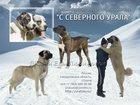 Скачать бесплатно фото Продажа собак, щенков Щенки среднеазиатской овчарки (алабай) 32434414 в Екатеринбурге