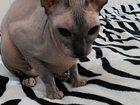 Скачать бесплатно фото Вязка Кошечка петерболд ищет кота своей породы 32587563 в Екатеринбурге
