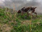 Фото в Собаки и щенки Продажа собак, щенков Кобель, 1 год, с родословной. Срочно. в Екатеринбурге 15000