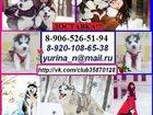 Фото в Собаки и щенки Продажа собак, щенков В продаже брюнеты хаски с небесными глазами. в Екатеринбурге 0