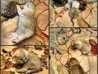 Изображение в Кошки и котята Продажа кошек и котят Плюшевые детки на бронь, родились 19. 09. в Екатеринбурге 5000