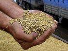 Фото в   Продам пшеницу фураж 5 класса. Любой объем. в Екатеринбурге 8000