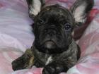 Фото в Собаки и щенки Продажа собак, щенков Щенки французского бульдога дата рождения в Екатеринбурге 25000