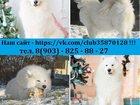 Фото в Собаки и щенки Продажа собак, щенков Самоедской лайки красивенных белоснежных в Екатеринбурге 0