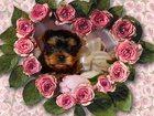 Изображение в Собаки и щенки Продажа собак, щенков Красивые высокопородные щенки йорка , кукольного в Екатеринбурге 25000