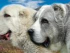 Фото в Собаки и щенки Продажа собак, щенков Питомник С Северного Урала предлагает щенков в Екатеринбурге 0